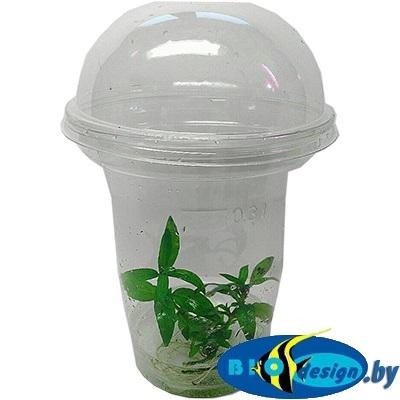 Аквариумное растение MAXI Стаурогин (Staurogyne repens)
